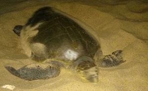 01 Divine Turtle